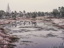 Pine Trees in Field of Kemeri moor in Latvia with a Pond in a Fo. Reground on a Cold Winter Morning with some Frost on them - vintage look edit Stock Images