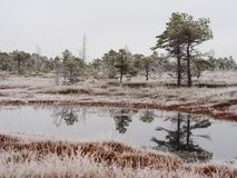 Pine Trees in Field of Kemeri moor in Latvia with a Pond in a Fo. Reground on a Cold Winter Morning with some Frost on them Royalty Free Stock Images