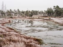 Pine Trees in Field of Kemeri moor in Latvia with a Pond in a Fo. Reground on a Cold Winter Morning with some Frost on them Royalty Free Stock Image