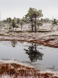 Pine Trees in Field of Kemeri moor in Latvia with a Pond in a Fo. Reground on a Cold Winter Morning with some Frost on them Stock Image