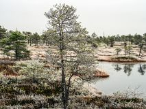 Pine Trees in Field of Kemeri moor in Latvia with a Pond inbetwe. En of them on a Cold Winter Morning with some Frost on them Royalty Free Stock Photography