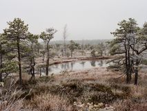 Pine Trees in Field of Kemeri moor in Latvia with a Pond inbetwe. En of them on a Cold Winter Morning with some Frost on them stock photos