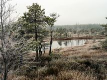 Pine Trees in Field of Kemeri moor in Latvia with a Pond inbetwe. En of them on a Cold Winter Morning with some Frost on them Stock Photo