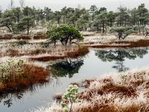 Pine Trees in Field of Kemeri moor in Latvia with a Pond inbetwe. En of them on a Cold Winter Morning with some Frost on them Royalty Free Stock Image
