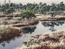 Pine Trees in Field of Kemeri moor in Latvia with a Pond inbetwe. En of them on a Cold Winter Morning with some Frost on them - vintage look edit stock image