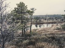 Pine Trees in Field of Kemeri moor in Latvia with a Pond inbetwe. En of them on a Cold Winter Morning with some Frost on them - vintage look edit royalty free stock photography