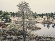 Pine Trees in Field of Kemeri moor in Latvia with a Pond inbetwe. En of them on a Cold Winter Morning with some Frost on them - vintage look edit Royalty Free Stock Photo
