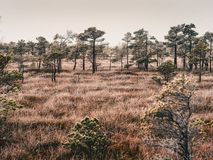 Pine Trees in Field of Kemeri moor in Latvia - vintage look edit. Pine Trees in Field of Kemeri moor in Latvia on a Cold Winter Morning with some Frost on them stock image