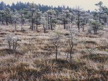 Pine Trees in Field of Kemeri moor in Latvia - Vintage look edit. Pine Trees in Field of Kemeri moor in Latvia on a Cold Winter Morning with some Frost on them royalty free stock images