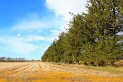 Pine trees beside field Stock Photography