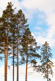 Pine trees and fir in the forest Stock Photo