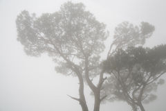 Pine trees in fog Royalty Free Stock Photography