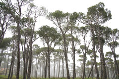 Pine trees in fog Stock Image