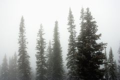 Pine trees in fog. Royalty Free Stock Images