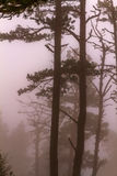 Pine trees fog. Nature autumn scene: pine trees trunks in fog and mist Stock Photos
