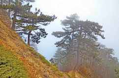 Pine trees in the fog on a ridge and steep slope of the mountain, Crimea. Pine trees on a steep slope and mountain ridge. Thick fog in the forest in the Stock Image