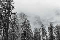 Pine trees in fog on snow mountain Stock Photography