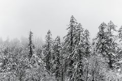 Pine trees in fog on snow mountain Royalty Free Stock Images