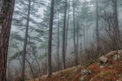 Pine trees in the fog Stock Images