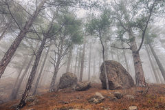 Pine trees in the fog Royalty Free Stock Image