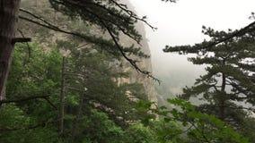Pine trees on foggy mountain landscape. Green coniferous trees on mountain in misty haze. Woodland in misty haze stock video