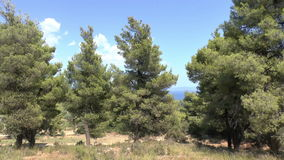 Pine Trees stock video footage