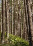 Pine trees in forest. A stand of tall pine trees in a hillside forest Stock Image