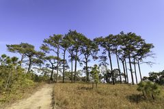 Pine trees in the forest. Stock Image