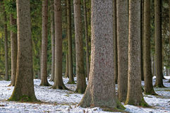 Pine trees forest Stock Images