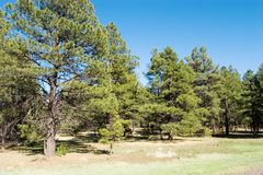 Pine trees in the forest Stock Image