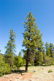 Pine trees in the forest Royalty Free Stock Image