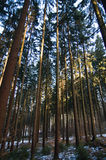 Pine trees in a forest Royalty Free Stock Photography