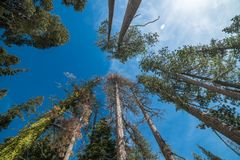 Pine trees forest against blue sky in Yosemite National Park. Stock Photography