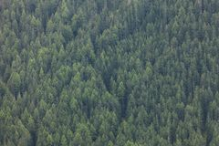 Pine trees forest as texture Stock Image