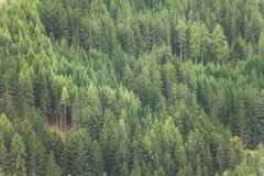 Pine trees forest as texture Royalty Free Stock Photos