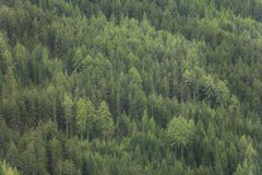 Pine trees forest as texture Royalty Free Stock Photography