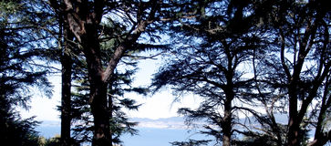 Pine trees in the forest Royalty Free Stock Photo