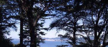 Pine trees in the forest Royalty Free Stock Photography