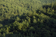Pine trees forest. Stock Photo