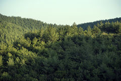 Pine trees forest. Stock Photos