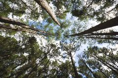 Pine trees in the forest. Royalty Free Stock Photos