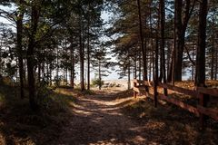 Pine trees in the forest. Classical Baltic beach landscape. Wild nature royalty free stock images