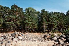 Pine trees in the forest. Classical Baltic beach landscape. Wild nature stock images