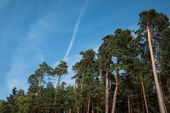 Pine trees in the forest. Classical Baltic beach landscape. Wild nature stock photo