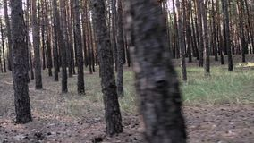 Pine trees in the forest. Pine forest, cloudy weather in the woods, the gloomy sky, forest cones, forest clearing, forest, pine trees, pine trees pine trees stock video footage