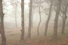 Pine trees in the forest covered in fog during autumn. Royalty Free Stock Photography