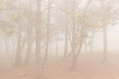 Pine trees in the forest covered in fog during autumn. Royalty Free Stock Image
