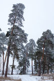 Pine trees in the forest covered with hoarfrost Royalty Free Stock Image