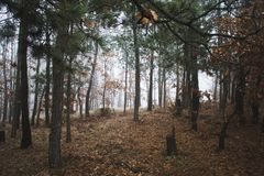 Pine Trees in Forest during Daytime Royalty Free Stock Images
