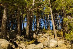 Pine trees Forest in Engolasters Lake, Andorra stock photography